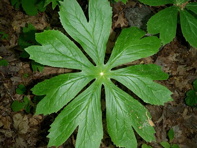 mayapple plant