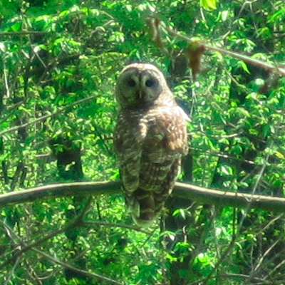 Barred Owl in Iowa
