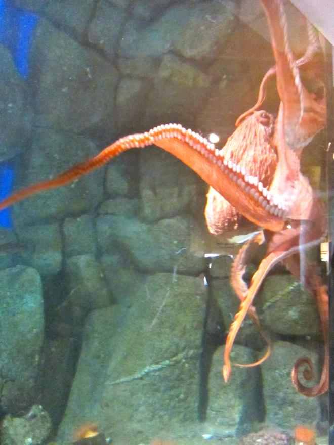 Octopus at Monterey Bay Aquarium