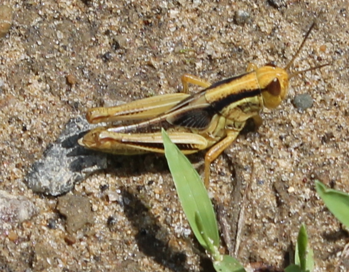 Short-winged yellow and black grasshopper